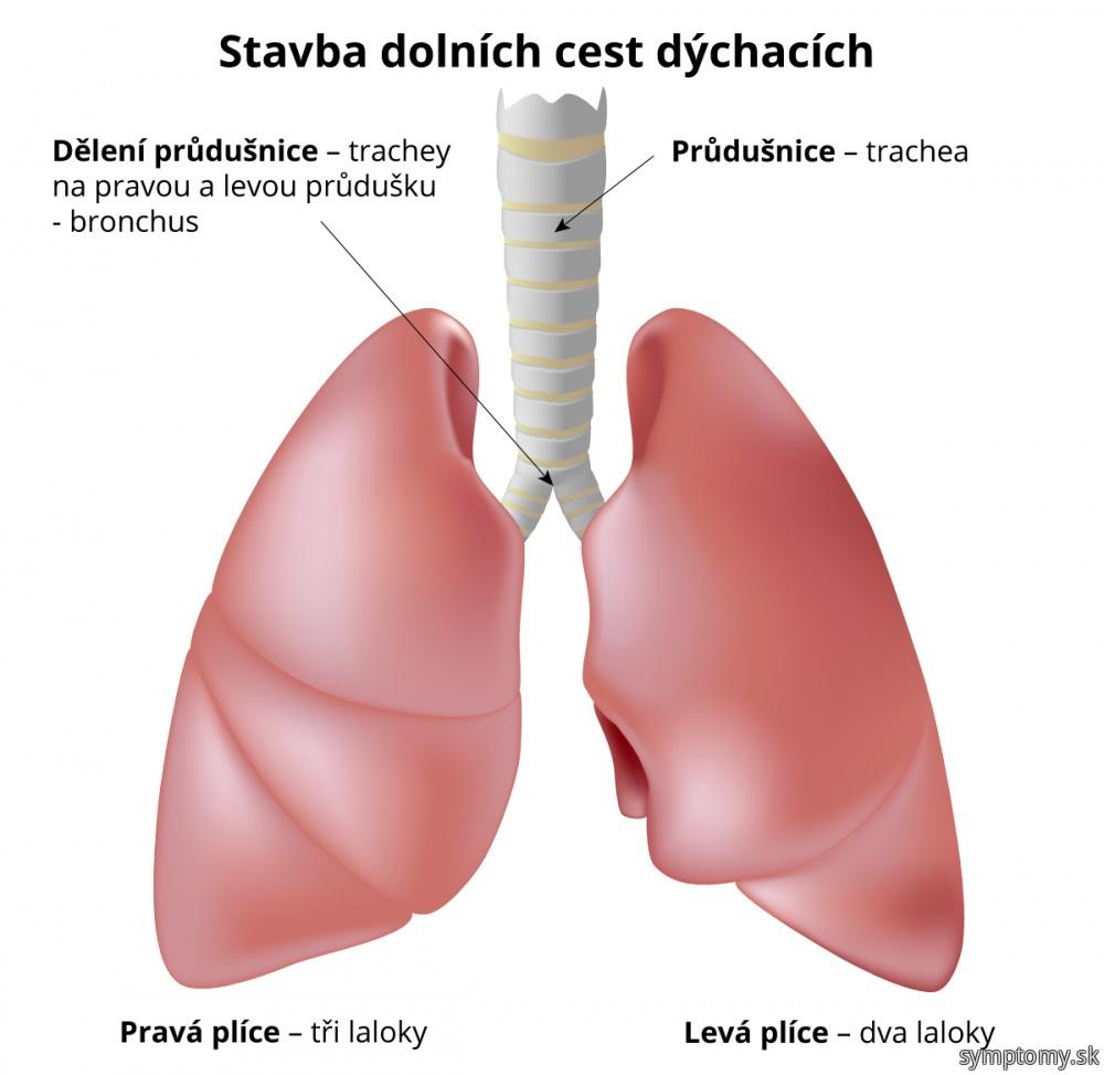 Stavba dolných dýchacích ciest