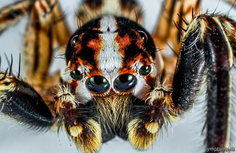 Jedovaté pavúky