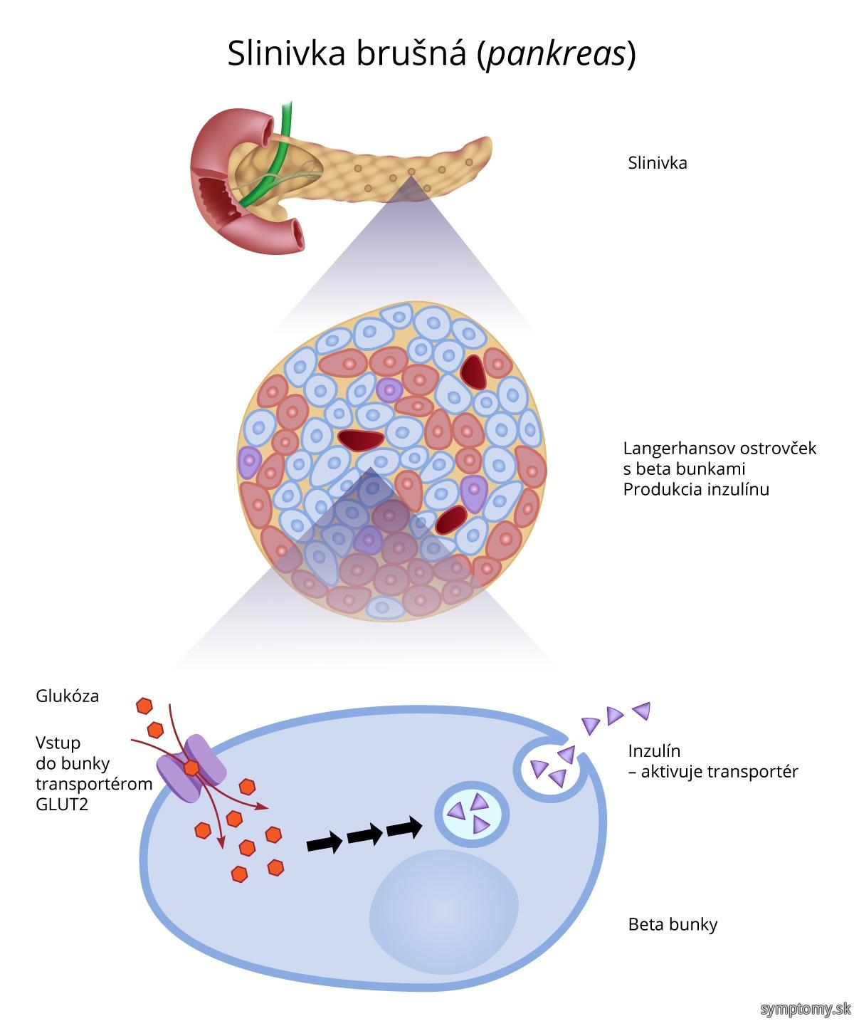 Slinivka brušná-pankreas